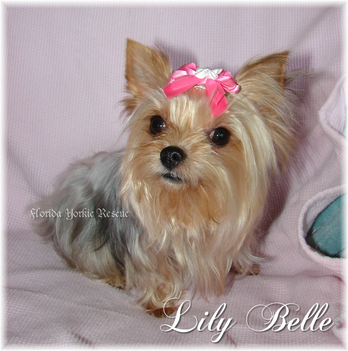 Florida ViewPost Yorkie Dogs for Adoption in Florida on Rescue Me! TOP OF PAGE ADD NEW SHELTER OR RESCUE GROUP Listings are alphabetized by county when known