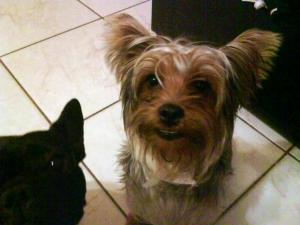 Miss You Yorkie My family and i miss himI Miss You Yorkie