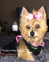 Yorkie House of Hearts